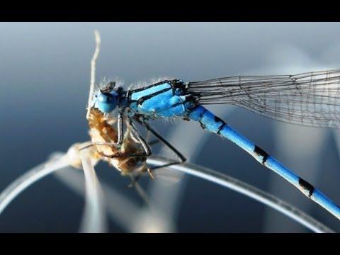 стрекоза может ловить добычу на лету