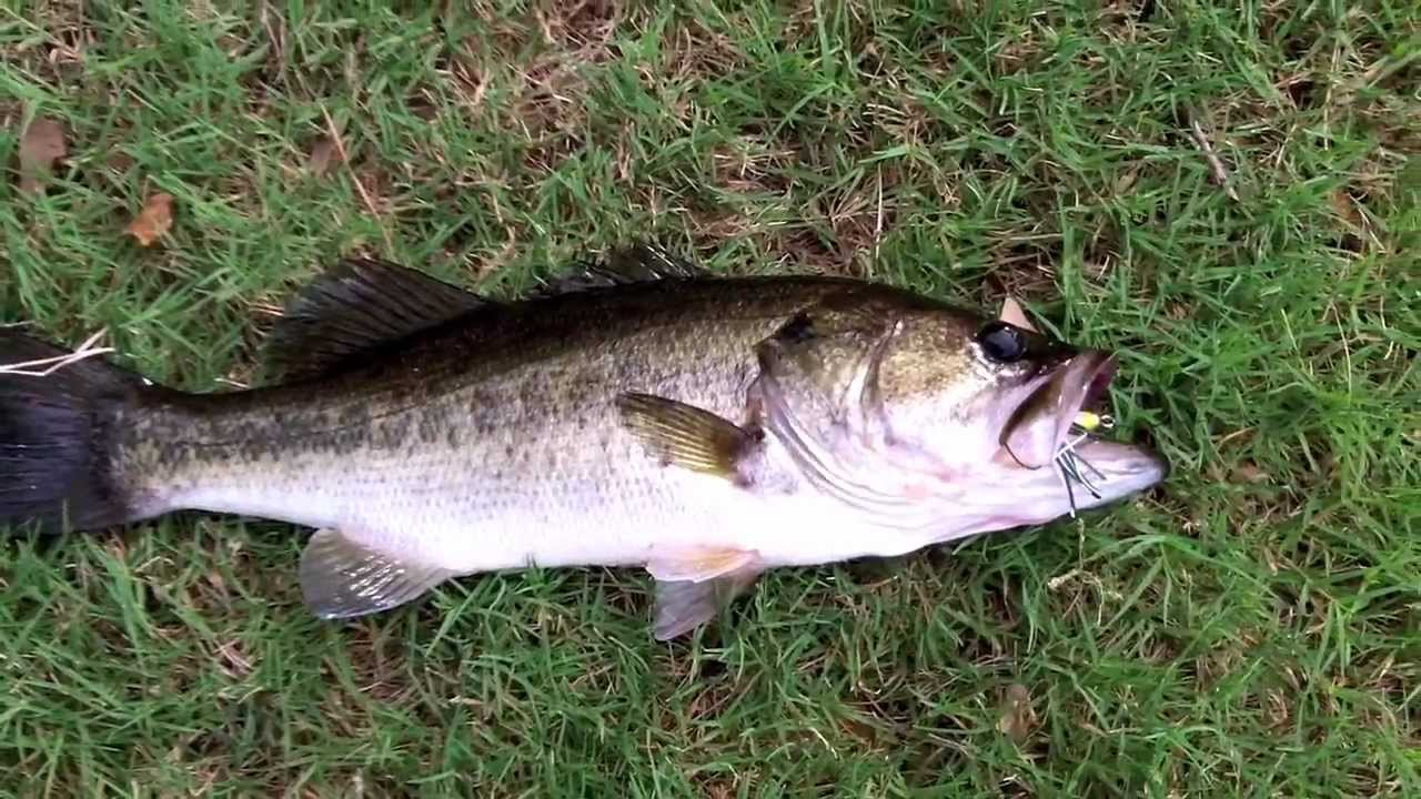 Topwater frog fishing for largemouth bass youtube for Topwater bass fishing