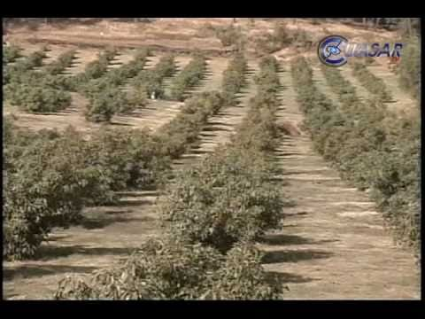Aguacate abate bosques michoacanos