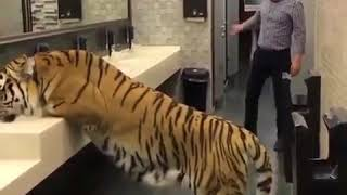 Man surprised by a tiger in the bathroom