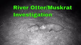 Possum eats Muskrat! River Otter farm Pond trail cam investigation