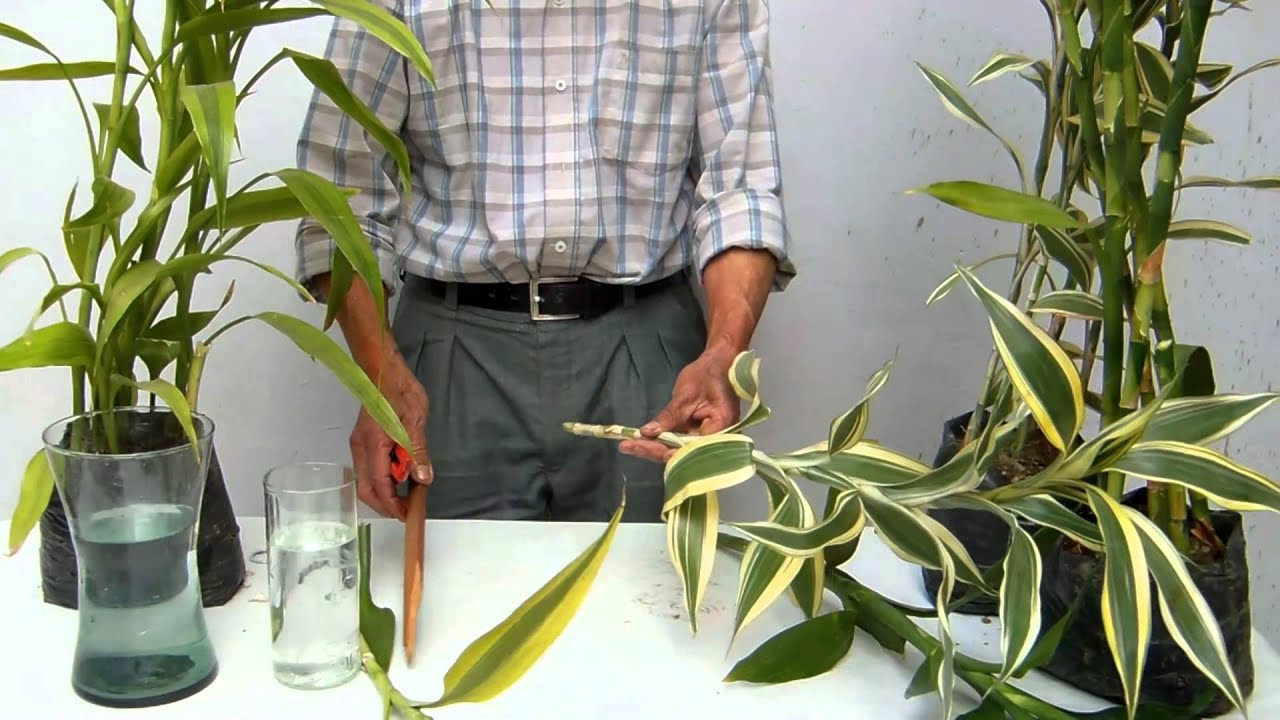Decoracion con lucky bamboo de la suerte youtube for Adornos con botellas para plantas