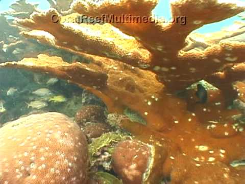 Fish  Richardson on Lesions From Grazing Fish By Necessity All Coral Diseases Have Been