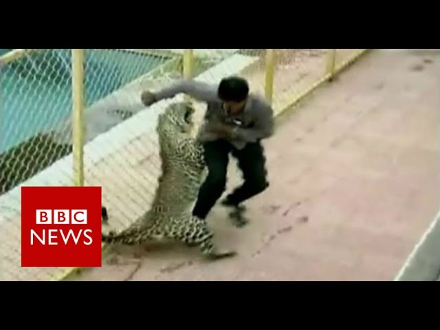 Leopard on the loose injures six while prowling around school in India - BBC News