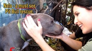 Nala - Scared stray Pit Bull living in a ditch - rescued! Please share on facebook & twitter