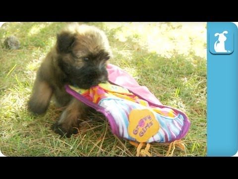 Wheaten Terrier Puppies Play With A Blanket – Puppy Love
