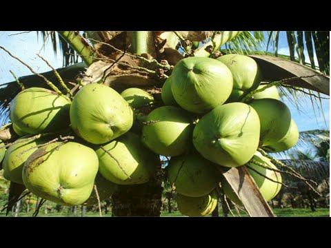 Curso Produ��o de Mudas de Coco An�o e H�brido - P�len