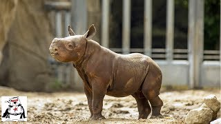 Baby Rhino Practicing Charging and Playing Compilation