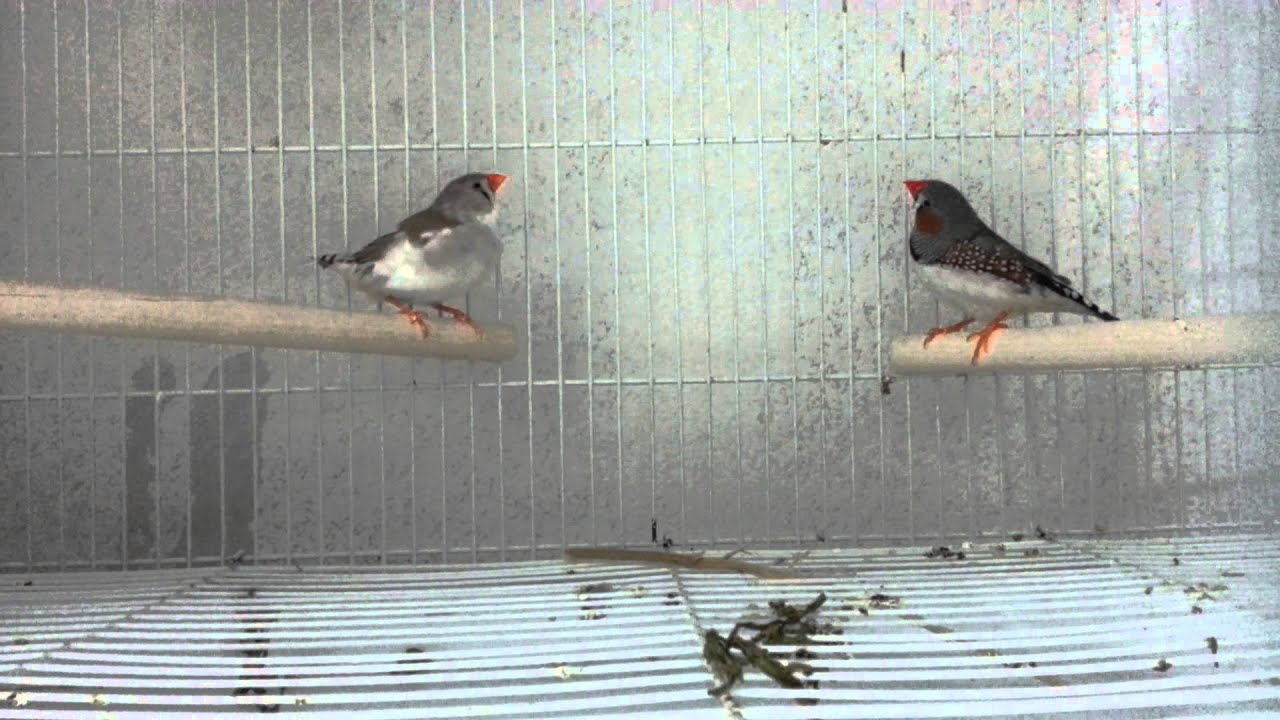 Zebra finches male and female