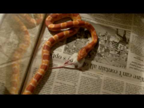 Corn Snake swallows mouse