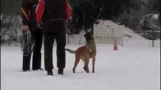 ITC-Dogs / Ighor from marrax place-Obedience at 7 Months / Peter van Heuven