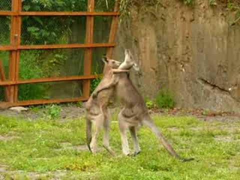 Fighting Kangaroos
