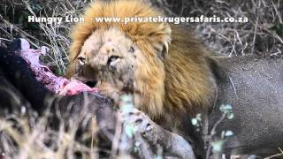 Hungry Lion feeding on Cape Buffalo in Kruger close to Tamboti Camp