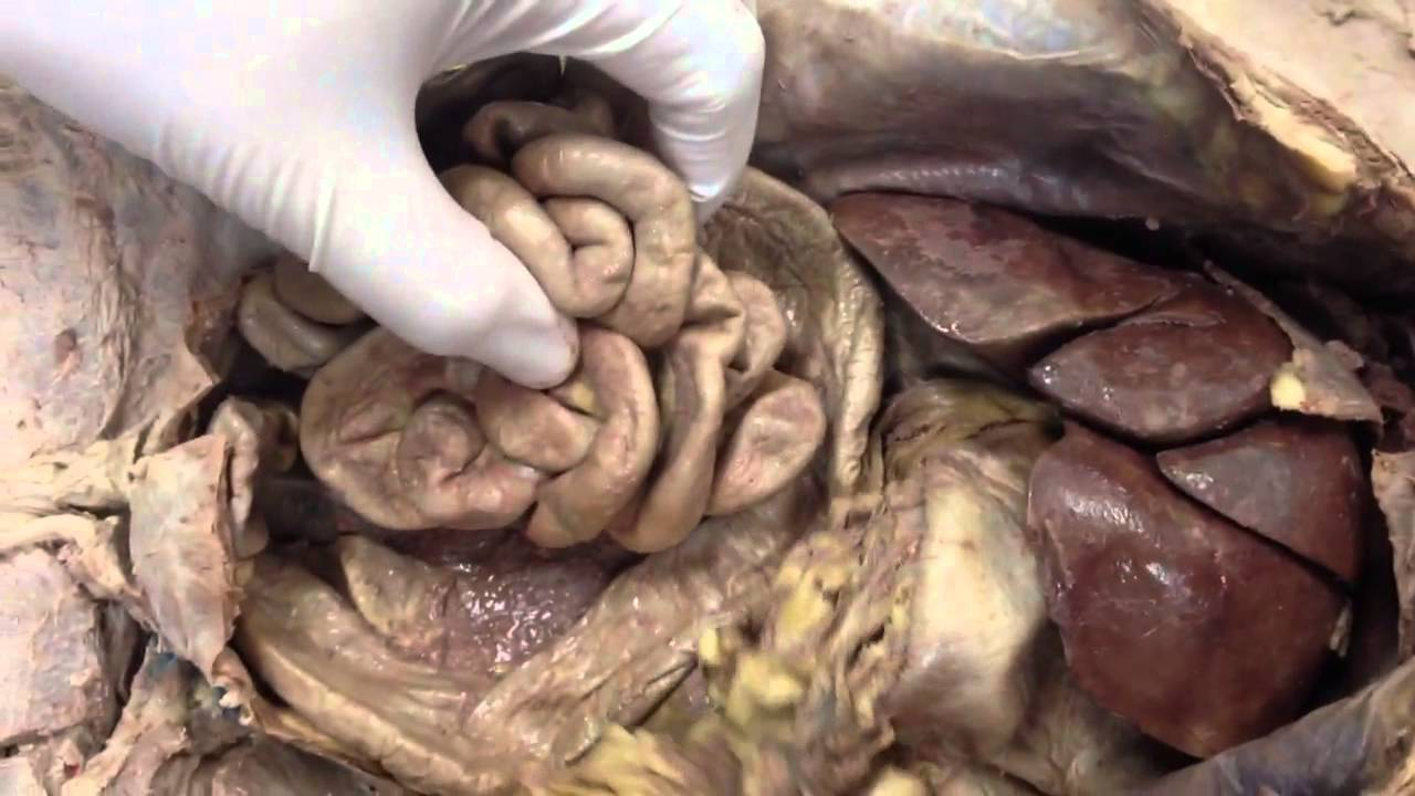 Cat digestive system - YouTube