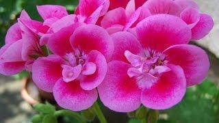Geranio, una planta decorativa utilizada en la medicina popular