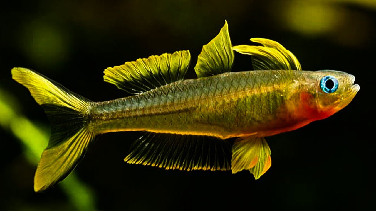 Forktail blue eyed rainbow fish up close youtube for Yellow rainbow fish