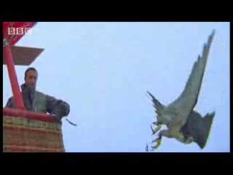 Birds - peregrine falcon dives at 180 mph - Ultimate Killers - BBC wildlife