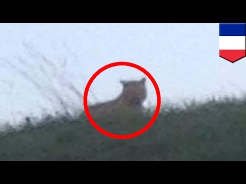 Baby Tiger On The Loose Near Paris, French Officials Hunting The Big Cat video