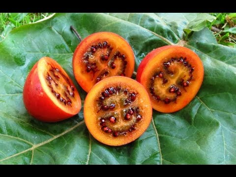 Tamarillo's - Tasting Fruit & Growing Trees