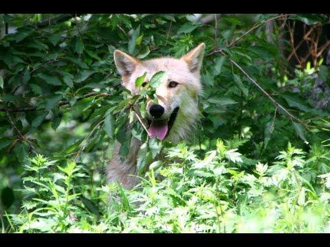 Monkey Wolf - Alawa Climbs a Tree