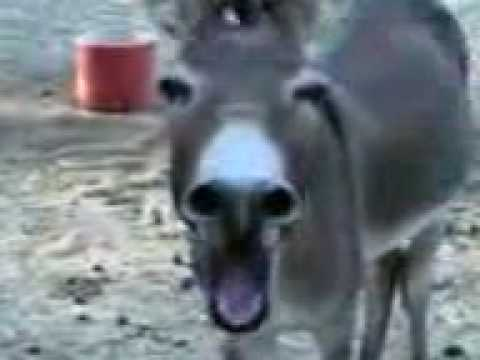 Funny Donkey Laughing video
