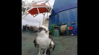 Life at Sea | Eagle on ship´s stern | Must Watch!