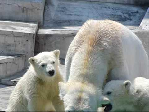 奪い合い(札幌円山動物園のホッキョクグマの赤ちゃんと母ララ)