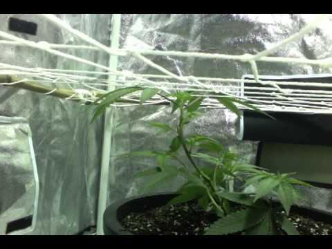4x4 Grow Grow Tent 4x4 og Lord Flacko
