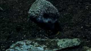 hedgehog eat scorpion