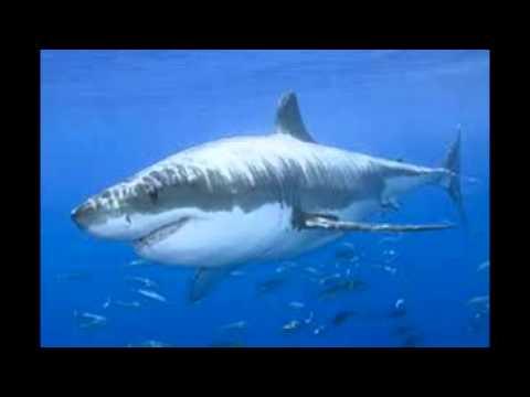 Megalodon vs White shark
