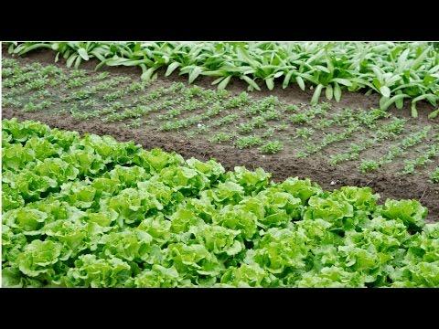 Cultivo Orgânico de Hortaliças - Mudas