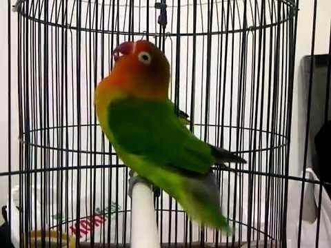Burung Love Bird Cerewet Ngekek Panjang !!! Pemancing Love Bird Agar Rajin Ngekek