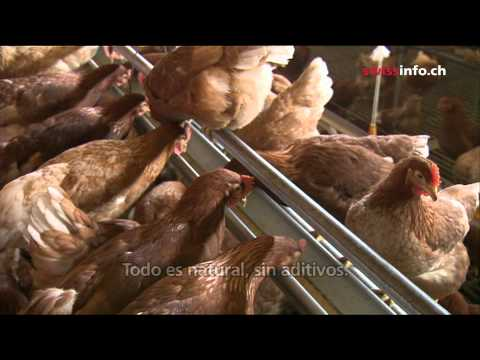 Gallinas felices
