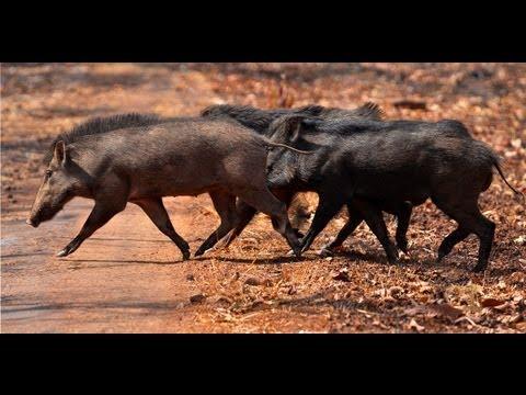Wild Boar Mating - Tadoba