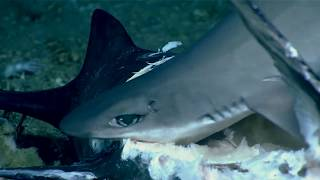NOAA Scientists Film Shark Swallowed Whole during Deep-Sea Feeding Frenzy