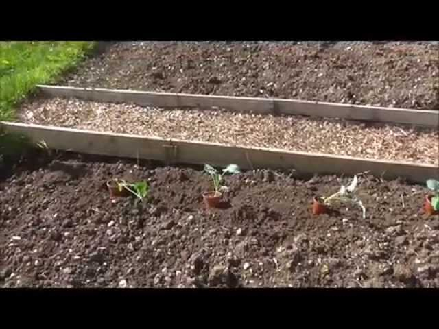Allotment Grow How - Planting Broccoli