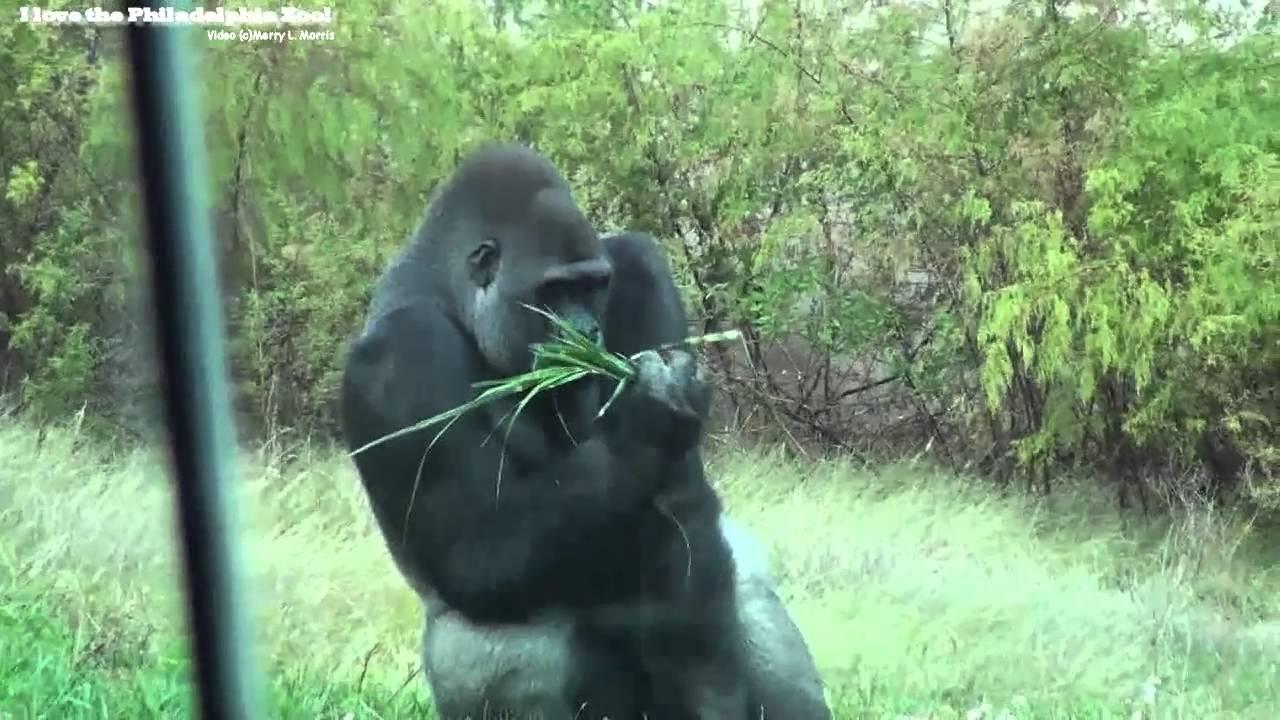 Philadelphia Zoo Gorillas Outside in Autumn - YouTube