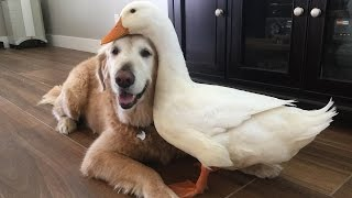 (3.51 MB) Dog And Duck Are Inseparable Best Friends Mp3