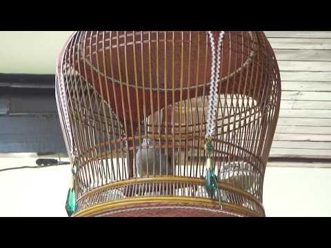 นกเขาชวาเสียงเล็ก จ.แพร่