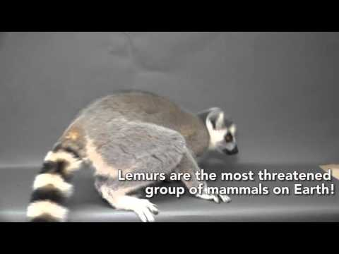 Lemur princesses celebrate World Wildlife Day