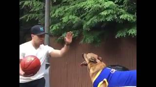 Amazing Shepherd Dog Playing BasketBall