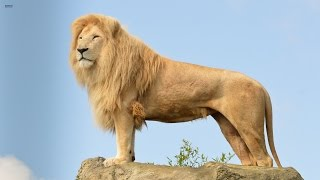Big Cats Of The Timbavati - The King