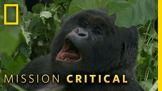 A Hard Life For a Gorilla | Mission Critical