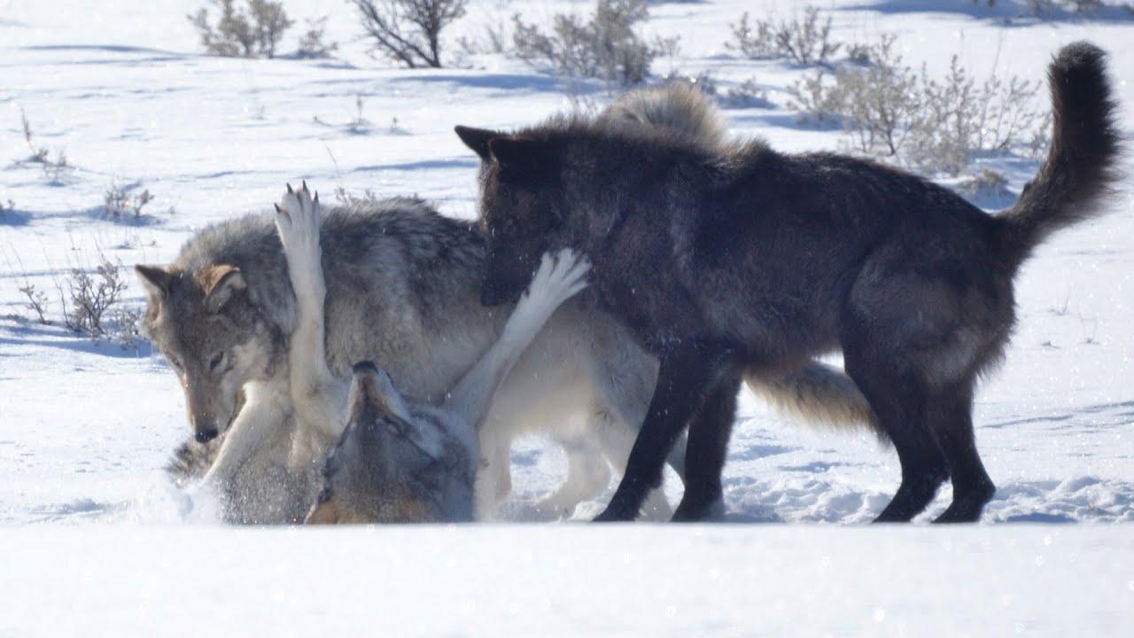 Alpha Wolf Nutrition  Testosterone Boost Force X7