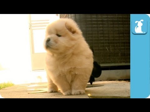 Award Chow - Red Carpet - Oscars 2013 - Chow Chow Puppy - Puppy Love