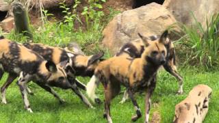 African Painted Dogs Get New Pack