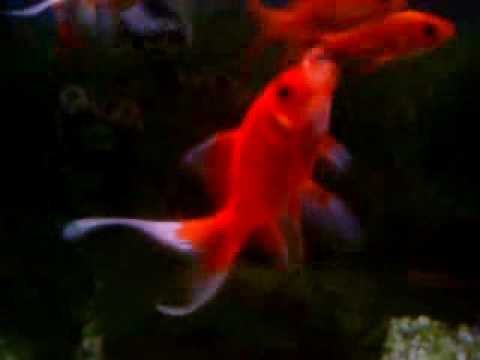 goldfish tank. Goldfish Tank part1