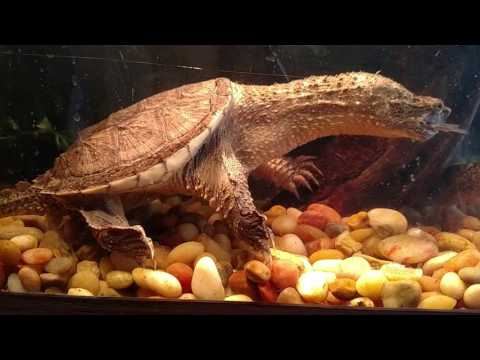 Baby snapping turtle tank setup