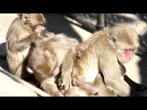 お猿の毛繕い 高崎山 HD