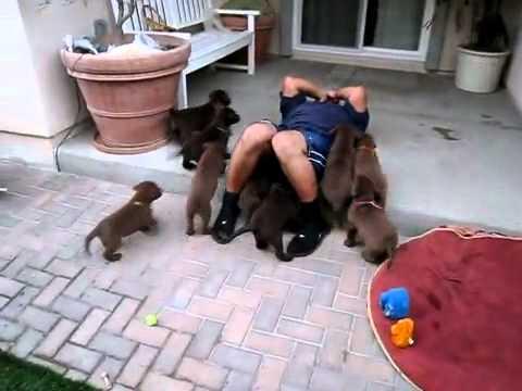 子犬たちに埋もれて楽しむ男性を襲った悲劇